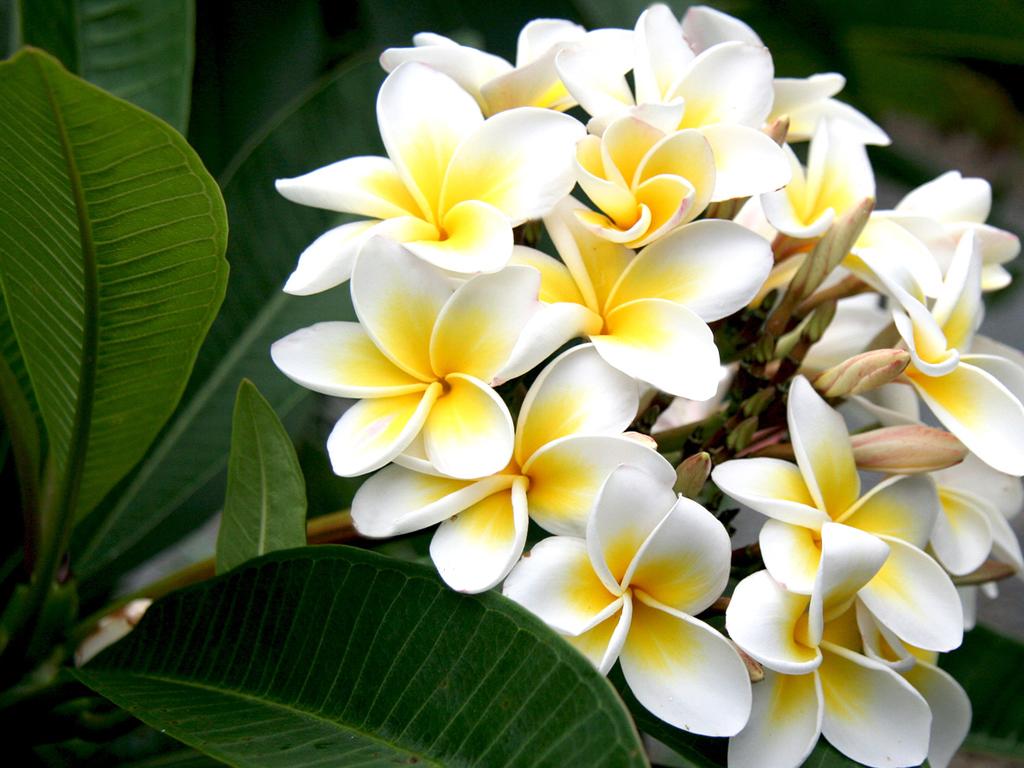 Hoa sứ nồng nàn