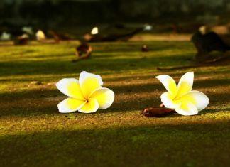 Hoa từ bi đang nở