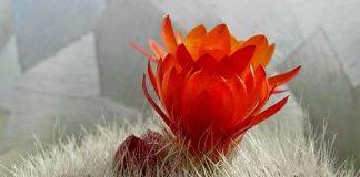 Hoa xương rồng vẫn nở