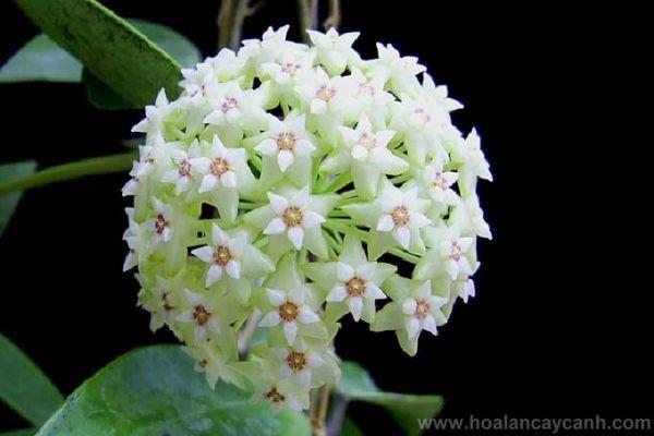 Viết cho người yêu hoa: Hoa cẩm cù