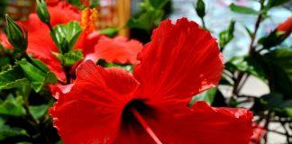 Viết cho người yêu hoa: Hoa dâm bụt