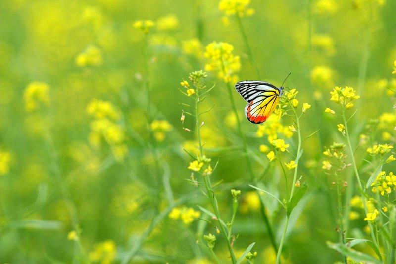 Kết quả hình ảnh cho bướm bay vườn cải hoa vàng