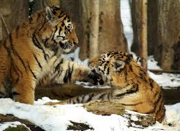 Hai con hổ